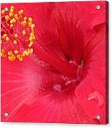 Tropical Hibiscus - Trinidad Wind 01 Acrylic Print