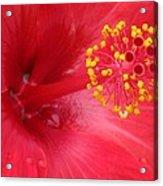 Tropical Hibiscus - Trinidad Wind 02 Acrylic Print