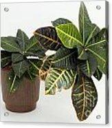 Tropical Houseplant Acrylic Print