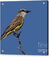 Tropical Kingbird Acrylic Print
