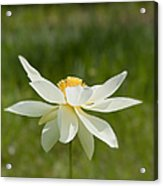 Tropical Lotus Flower Acrylic Print