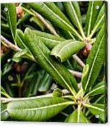 Tropical Plant . Acrylic Print