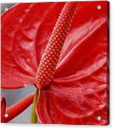 Tropical Red Anthurium Acrylic Print