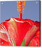 Tropical Red Hibiscus Flower Against Blue Sky  Acrylic Print