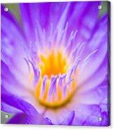 Tropical Waterlily Glow Acrylic Print