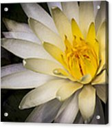 Tropical White Water Lily Acrylic Print