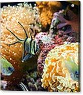 Tropical Wonderland - Banggai Cardinalfish Acrylic Print
