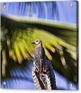 Tropical Woodpecker Acrylic Print