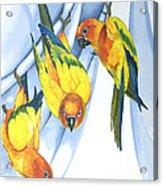 Trouble - Sun Conure Trio Acrylic Print