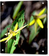 Trout Lilies Acrylic Print