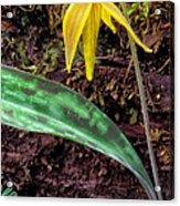 Trout-lily Erythronium Americanum Acrylic Print by Thomas R Fletcher