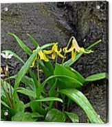 Trout Lily In The Woods Acrylic Print