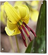 Trout Lily Or Dog-toothed Violet Acrylic Print