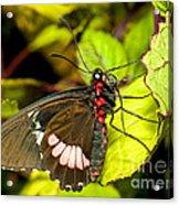 True Cattleheart Butterfly Acrylic Print