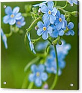 True Forget-me-not Acrylic Print