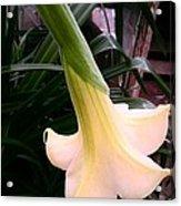 Trumpet Lily 2 Acrylic Print