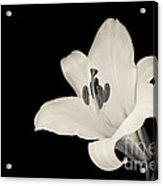 Trumpet Lily Acrylic Print