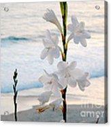 White Trumpet-shaped Flowers At Dana Point Beach California  Acrylic Print