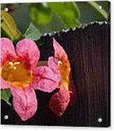 Trumpet Vine With Friend Acrylic Print