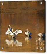 Trumpeter Ballet Acrylic Print by Mike  Dawson