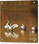 Trumpeter Ballet Acrylic Print