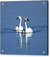 Trumpeter Swan Couple Acrylic Print