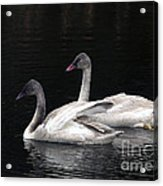Trumpeter Swan Cygnets Acrylic Print