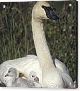 Trumpeter Swan On Nest With Chicks Acrylic Print by Michael Quinton
