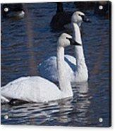 Trumpeter Swan Pair Acrylic Print