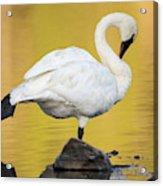 Trumpeter Swan Preening, Cygnus Acrylic Print