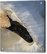 Trumpeter Swan - Safe Place Acrylic Print