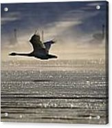 Trumpeter Swan Silhouetted In Flight Acrylic Print