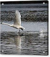 Trumpeter Swan Walking On Water Acrylic Print
