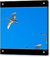 Trumpeter Swans In Color Acrylic Print