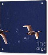 Trumpeter Swans In-flight Acrylic Print