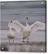 Trumpeters At The Beach Acrylic Print