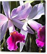 Trumpeting Purple Cattleya Orchids Acrylic Print