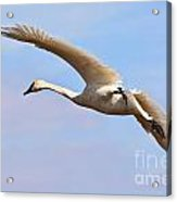 Trumpter Swan Acrylic Print