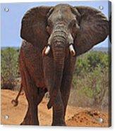Tsavo Elephant Acrylic Print