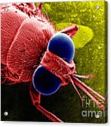 Tse Tse Fly Acrylic Print