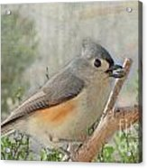 Tuffted Titmouse Early Spring Acrylic Print