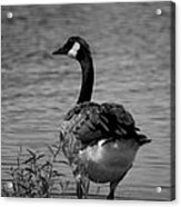 Tufted Tail Feathers Acrylic Print