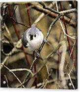 Tufted Titmouse On The Watch Acrylic Print