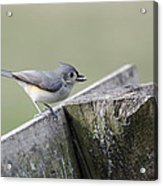Tufted Titmouse With Seed Acrylic Print