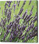 Tuilieres Lavender Acrylic Print