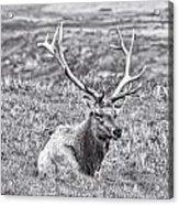 Tule Elk In Black And White  Acrylic Print