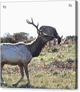 Tules Elks Of Tomales Bay California - 7d21199 Acrylic Print by Wingsdomain Art and Photography