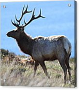 Tules Elks Of Tomales Bay California - 7d21218 Acrylic Print