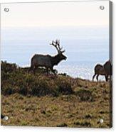 Tules Elks Of Tomales Bay California - 7d21230 Acrylic Print
