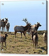Tules Elks Of Tomales Bay California - 7d21236 Acrylic Print by Wingsdomain Art and Photography